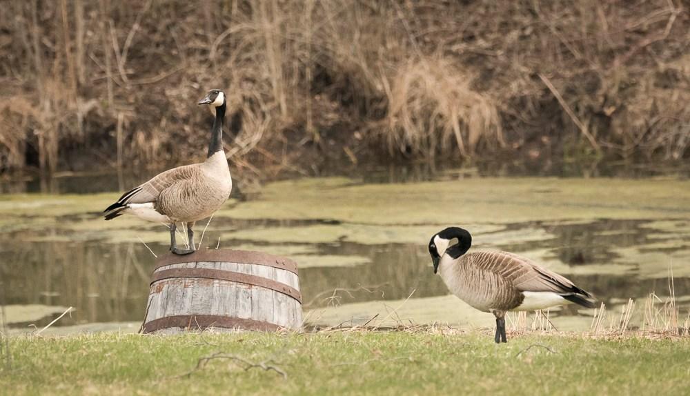 Backyard Geese