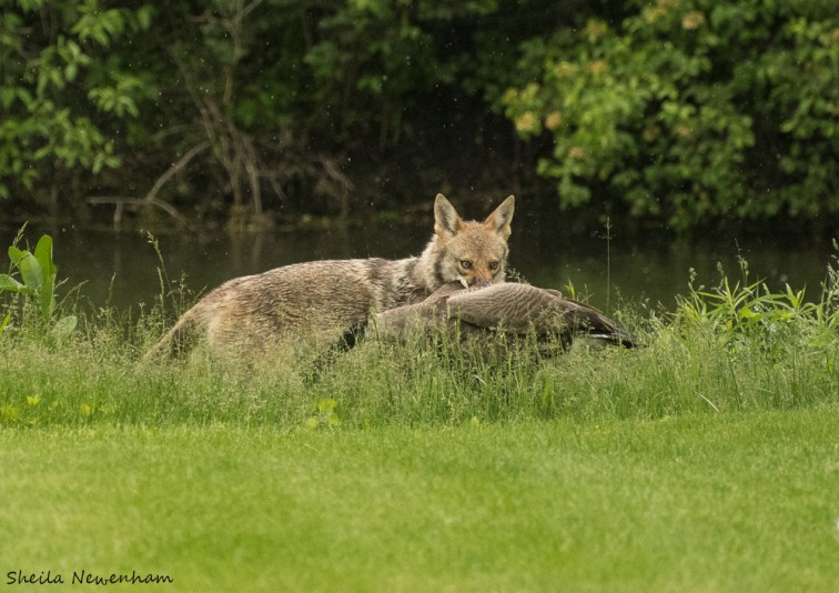 Coyote Gets a Goose