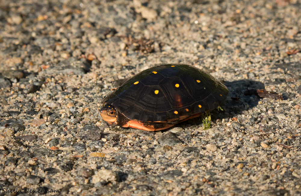 Yellow Spotted Turtle