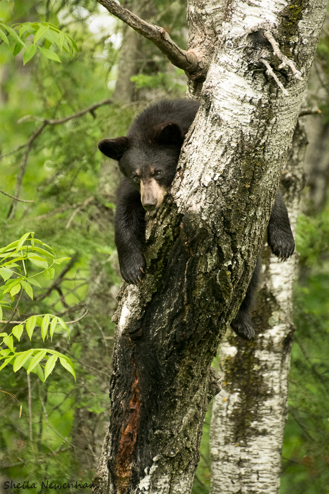 A day in the life of black bears