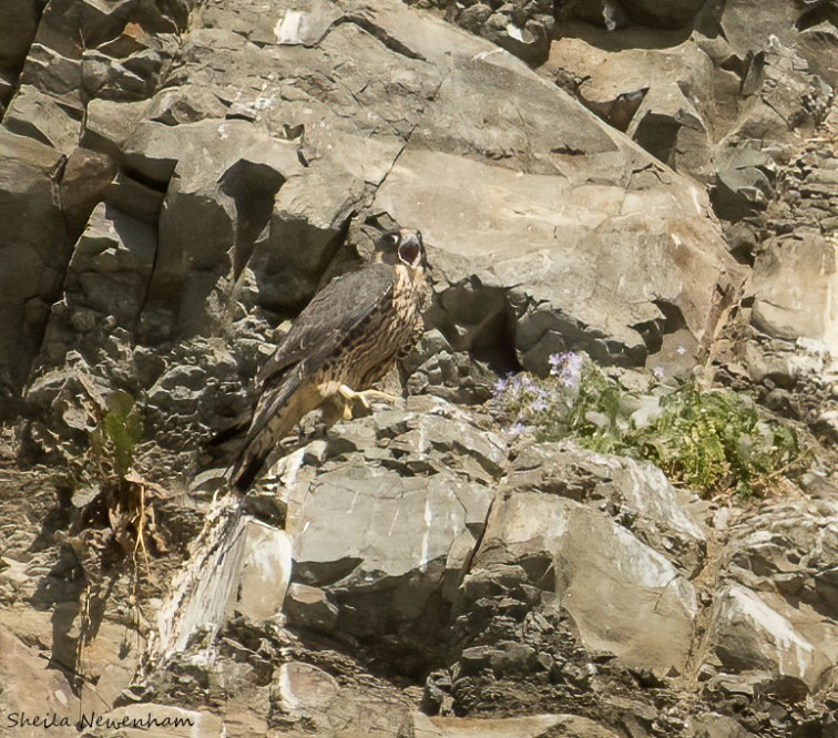 Hunting peregrine falcons
