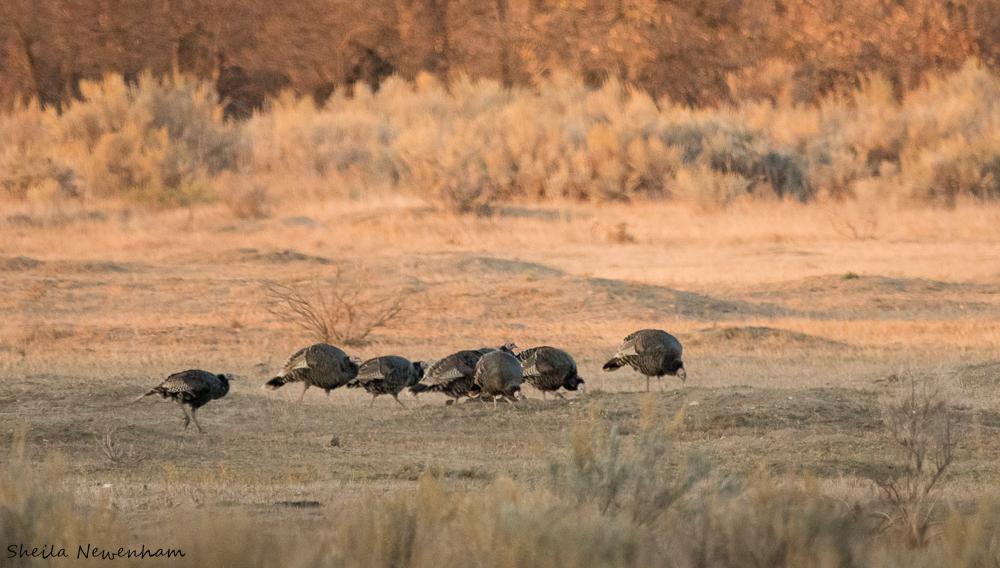 Rafter of Wild turkey