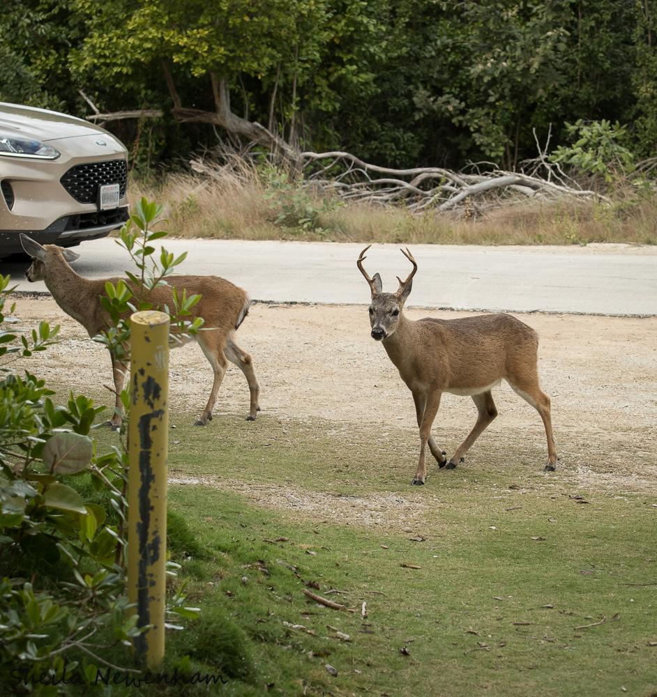 Florida Key Deer