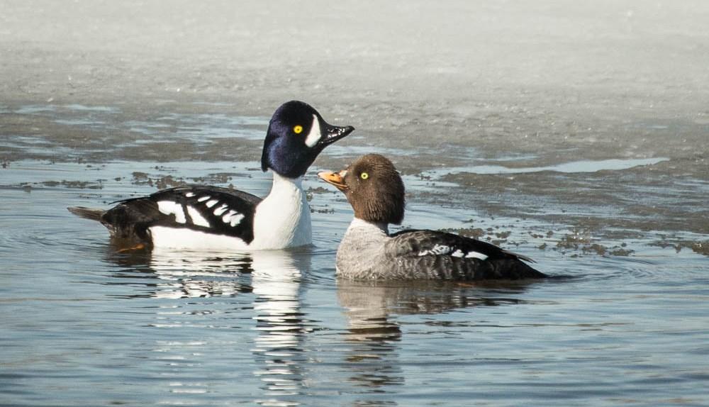 Spring bird migration Alaska