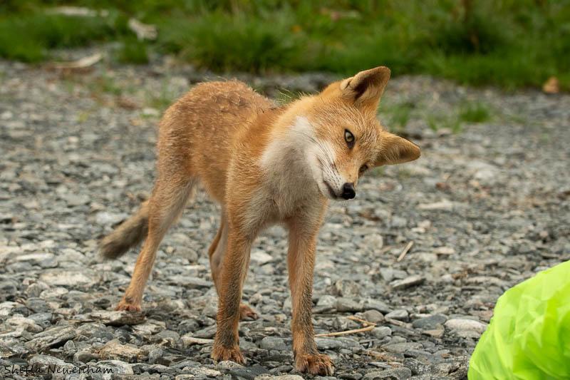 Kodiak Island Fox