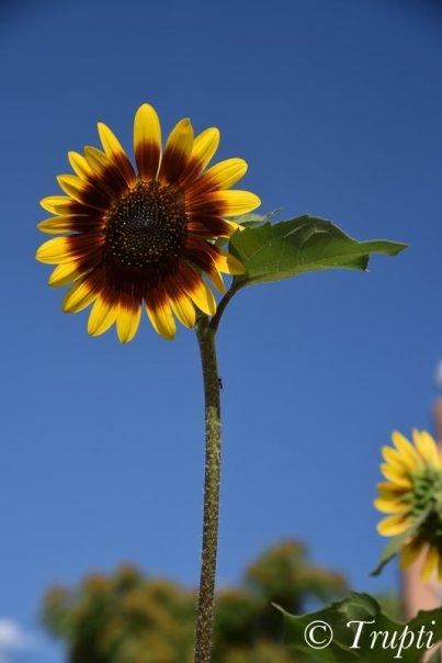 Sunflower in Santa Fe