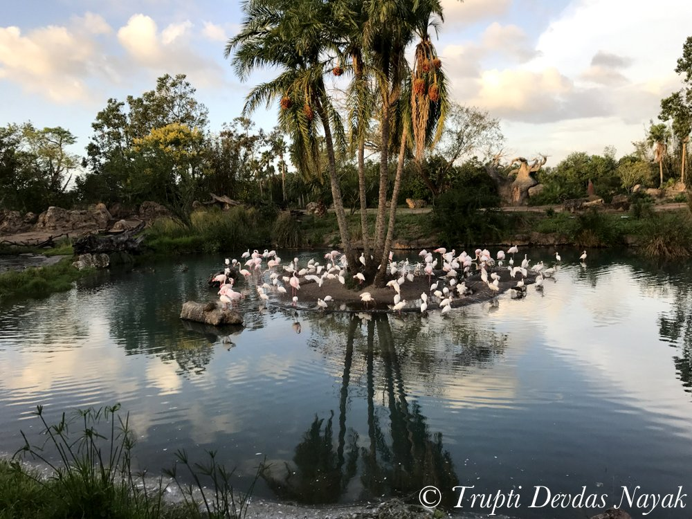 Flamingoes at Disney's Animal Kingdom