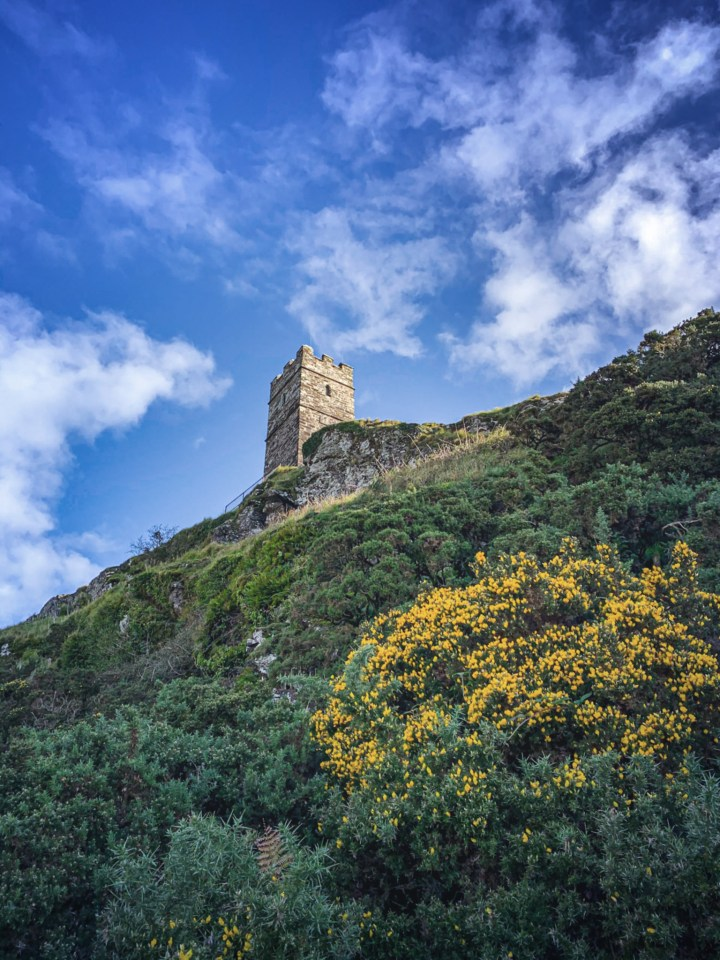 Gorse bushes growing on Brent Tor below the tower of Brentor Church