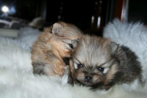 Asia´s puppies Krissy & Kenny