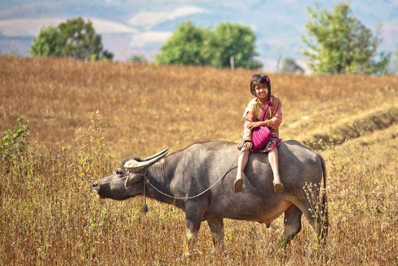 34_Bull To School, Myanmar