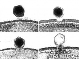 algalvirus