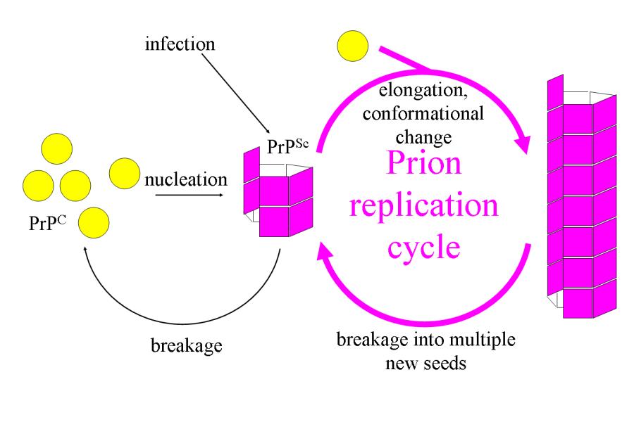 prionreplication