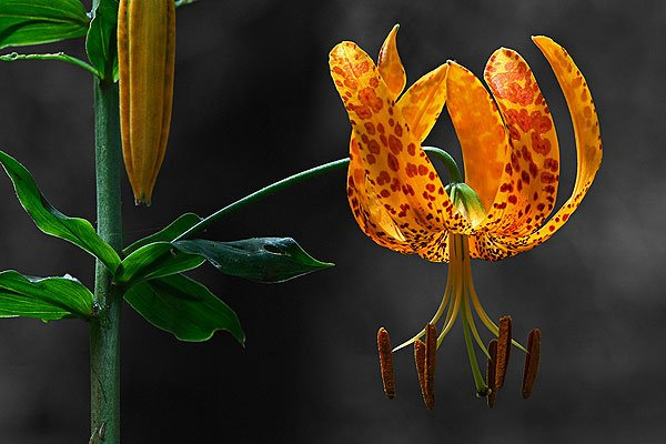Flower Photography of a Humboldt's Lily (Lilium humboldtii)