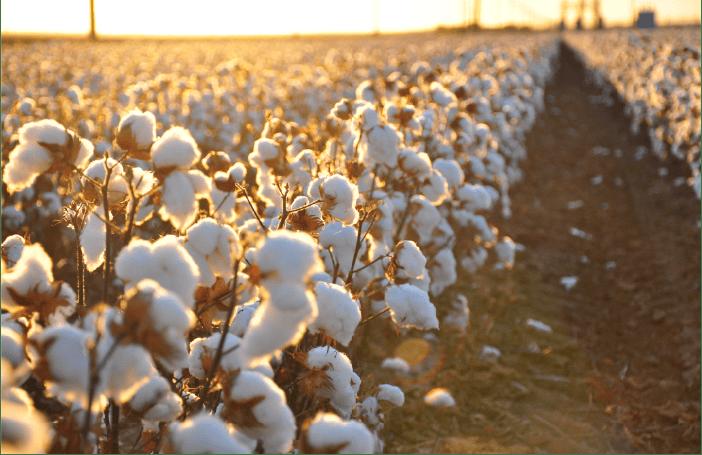 Sembrío de algodón