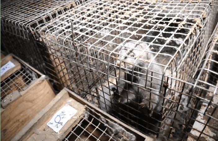 PETA - Visones en cautiverio