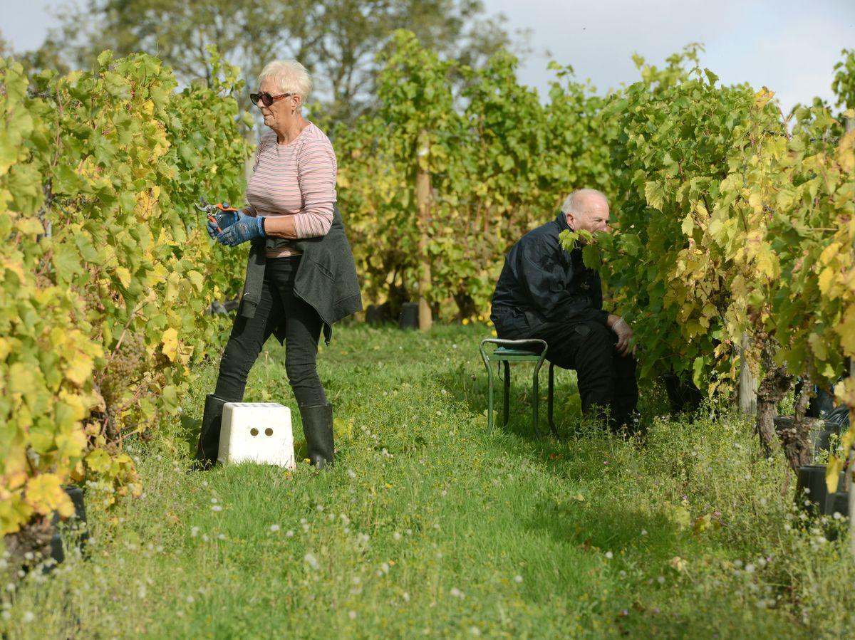 Volunteers picking grapes at Halfpenny Green Vineyard