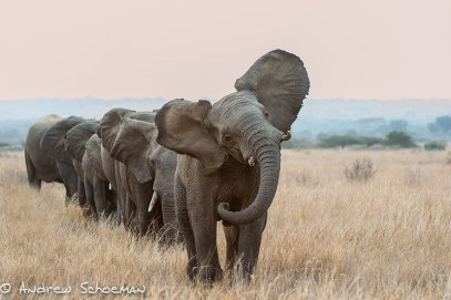 A herd of elephants walking across a dry grass field  Description automatically generated
