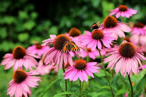 uses of echinacea