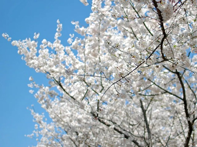 Blooming tree in Charlotte, NC