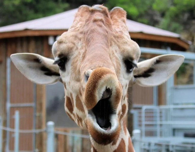 Giraffe making funny face at San Antonio Zoo. Photo by Instagram user @sanantoniozoo