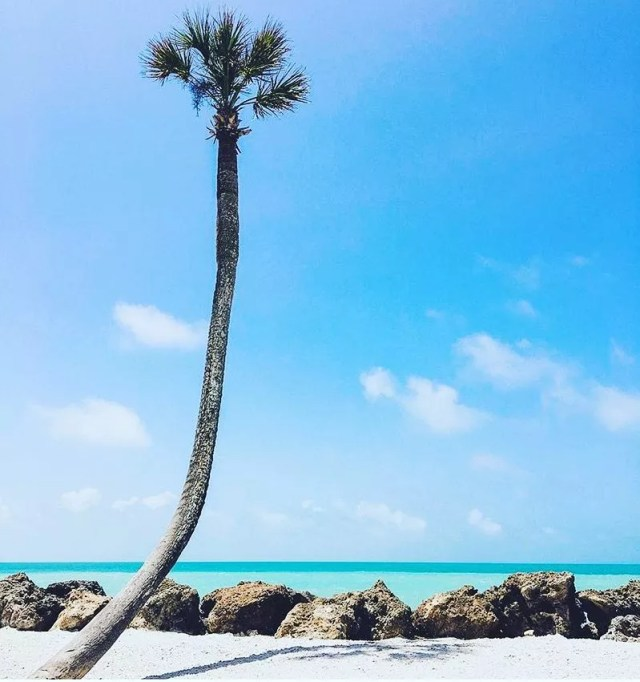 Palm Tree Growing Out of the White Sand in Sarasota. Photo by Instagram user @sarasota