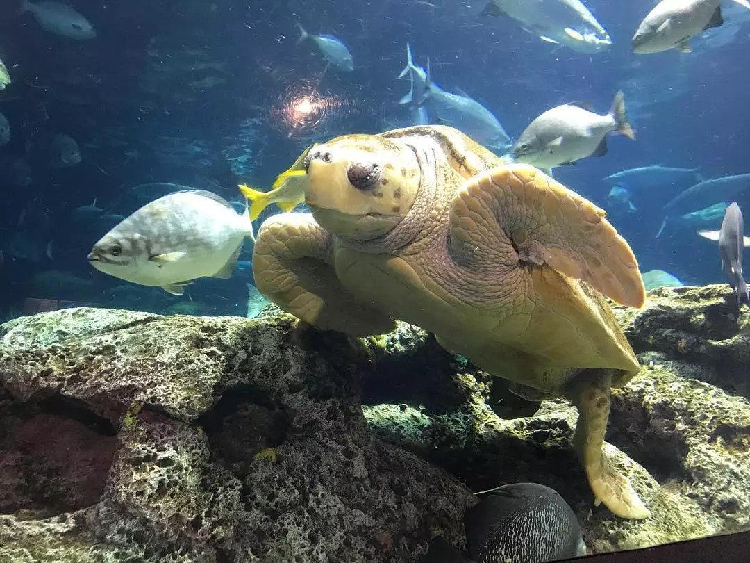Sea turtle and multiple fish in a large aquarium. Photo by Instagram user @southcarolinaaquarium