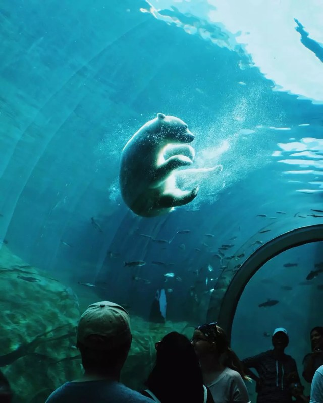 Polar bear swims in aquarium while people watch from below. Photo by Instagram user @onlyincdbus