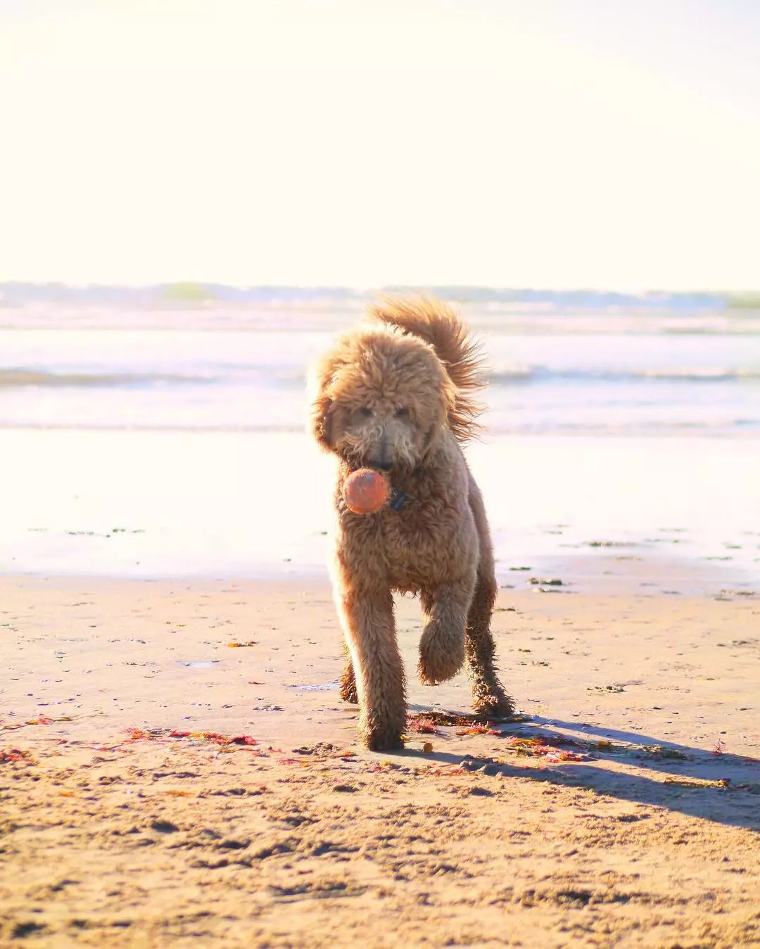 Golden Doodle dog plays with a ball on the beach. Photo by Instagram user @montanathedood