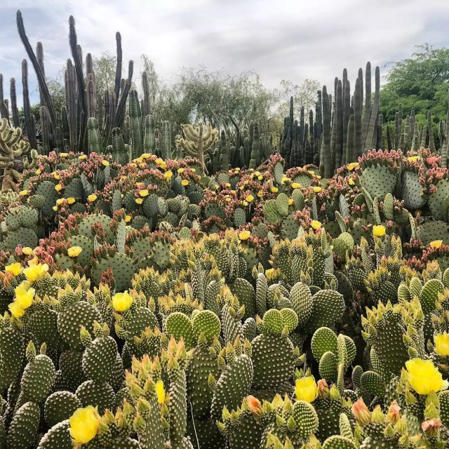 Field of cacti and flowers at the Desert Botanical Garden in Phoenix. Photo by Instagram user @dbgphx