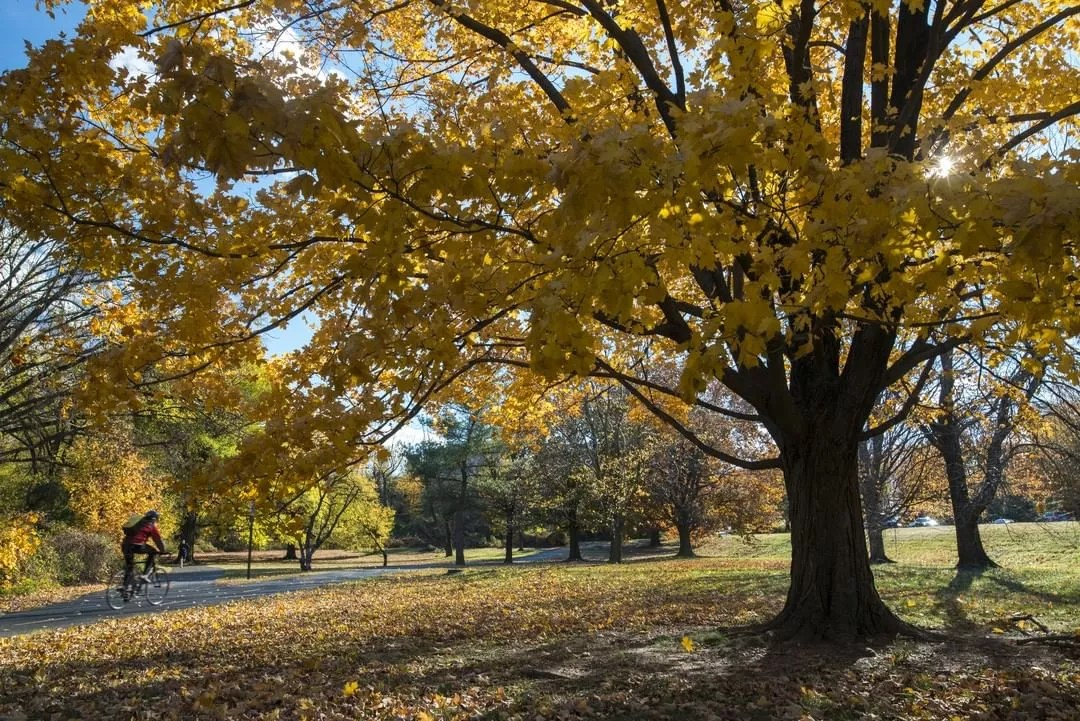 Someone riding their bike in the park with yellow trees in Alexandria, VA. Photo by Instagram user @visitalexva