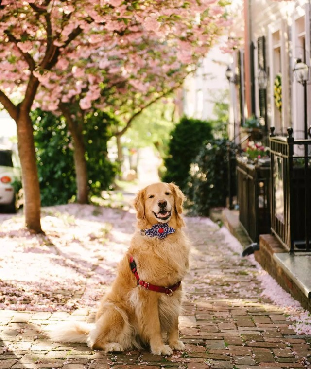 Gold retriever dog wearing a bow tie on the sidewalk. Photo by Instagram user @samanthabrookephoto