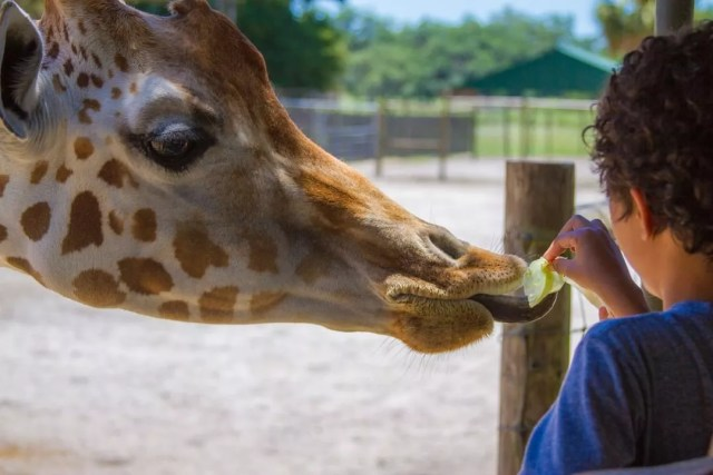 Kid feeding giraffe lettuce. Photo by Instagram user @giraffe_ranch