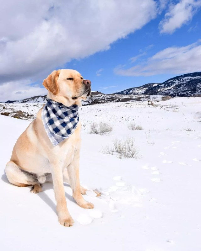 yellow lab sitting in the snow in a field in Bozeman photo by Instagram user @getting.into.mischief