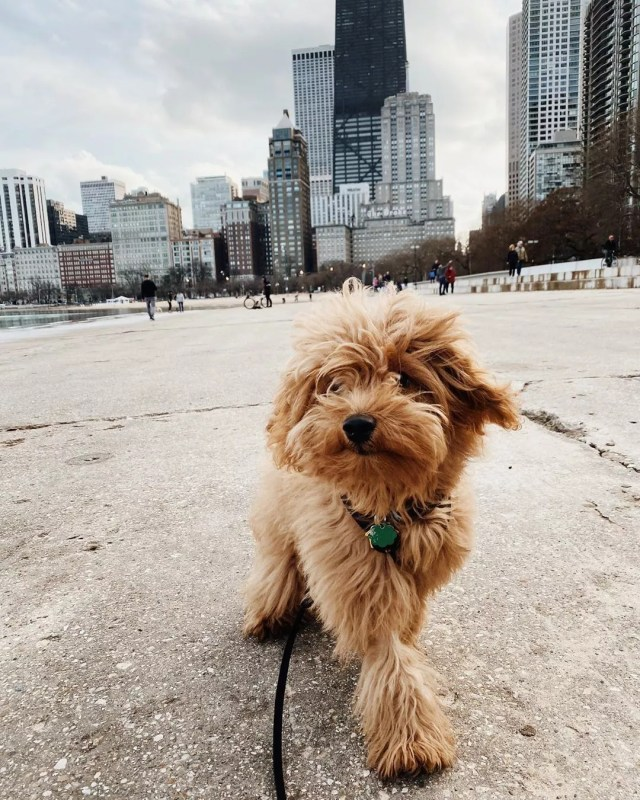 mini golden doodle walking along the lake in downtown Chicago photo by Instagram user @oskee.the.goldee