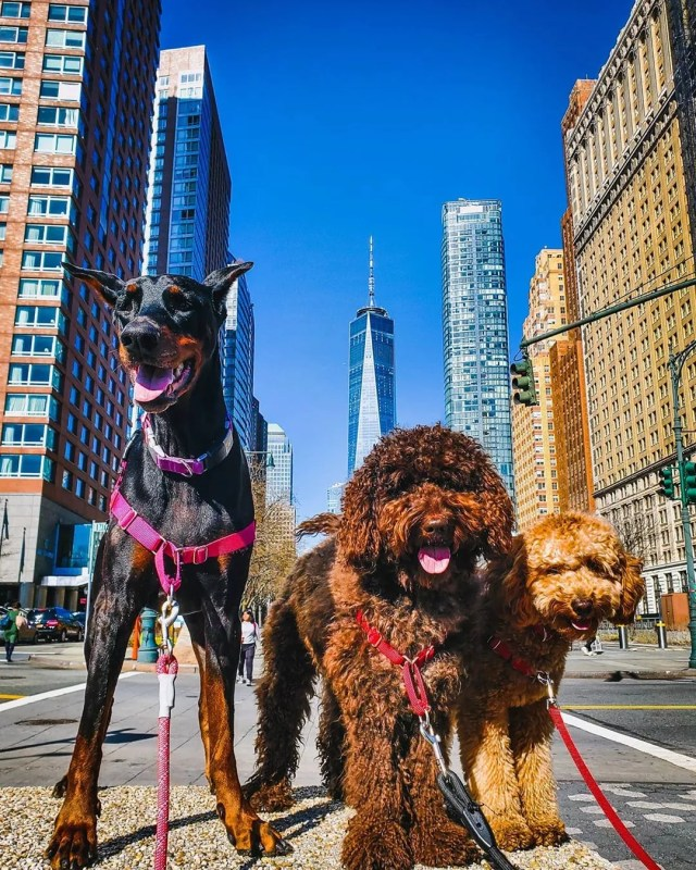 doberman, labradoodle, and golden doodle standing in downtown New York City with One World Trade Center Tower photo by Instagram user @purrple_paws