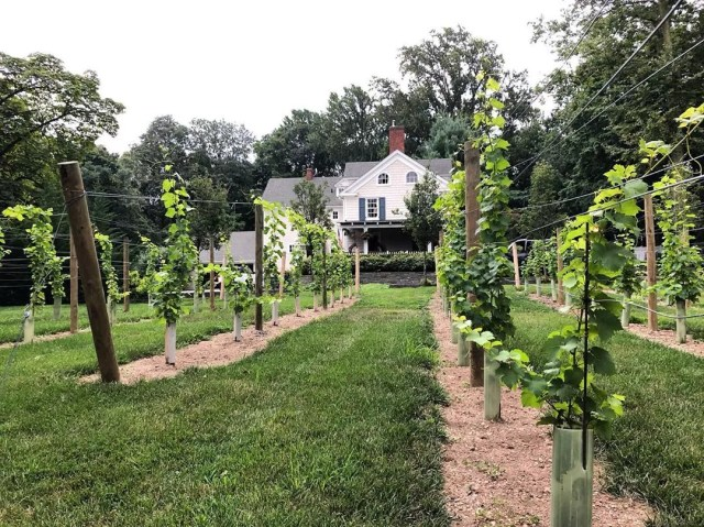 backyard vineyard at a residential home photo by Instagram user @longislandvinecare