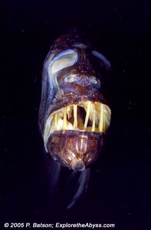 Mesopelagic species