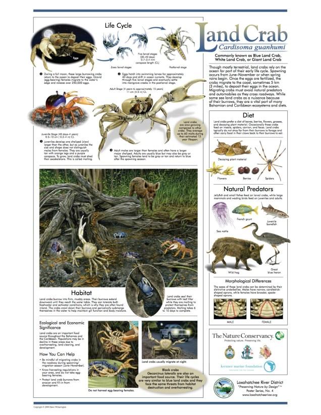 blue-land-crab