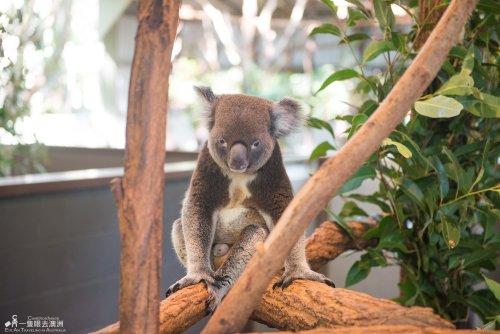 Brisbane - Lone Pine Koala Sanctuary