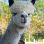 Outstanding Dreams Farm to host 6th Annual Alpaca Festival