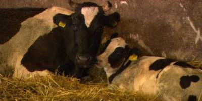 Eyes on Animals release report on dairy cattle industry in the Netherlands