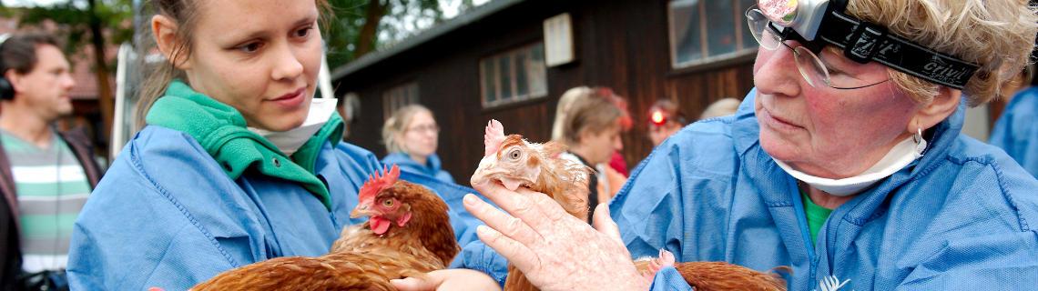 """Wir helfen der Organisation """"Rettet das Huhn"""" beim tierfreundlichen Fangen und Beladen ausgedienter Legehennen und bei deren Vermittlung"""