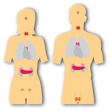 picture of man and woman's insides with the thyroid and other functions showing