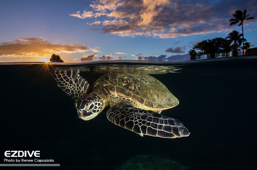 """Green sea turtle- Chelonia mydas - at sunset gliding through the water in Maui, Hawaii.  These turtles are classified as """"Endangered"""" by the IUCN Redlist."""
