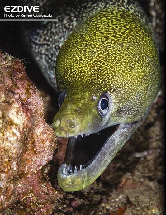 Moray eel in Maui, Hawaii