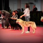 Ring Best in Show Veterani