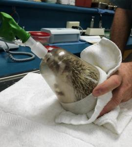 hedgehogs-trip-dentist