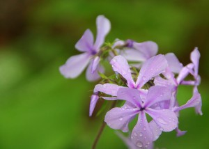 A Phlox on Your House