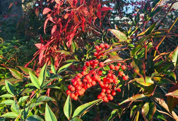Holly growing alongside other bushes . . . one can just imagine the Happy Hols this can inspire!