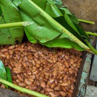 bean-to-bar-gallery-tasting-beans-8